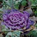 Zierkohl-Gemüse-Salatpflanze