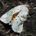 Breitflügeliger Fleckleibbär Spilosoma lubricipeda