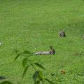 Wildkaninchen-Siesta