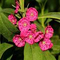 Rotes Lorbeerröslein Kalmia angustifolia