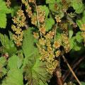 Felsen-Johannisbeere  Ribes petraeum