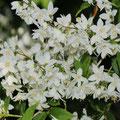 Zierliche Deutzie Deutzia gracilis
