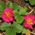 Rotblühende Zier-Erdbeere-Fragaria 'Rubra'