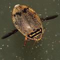 Gemeiner Furchenschwimmer Acilius canaliculatus