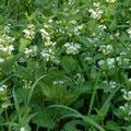 Taubnessel-Gemüse-Salatpflanze