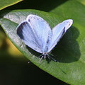 Bläuling-Faulbaum Celastrina argiolus