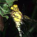 Blaugrüne Mosaikjungfer aus Exuvie geschlüpft Aeshna cyanea