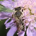 Kegelbiene Artemisia campestris