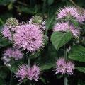 Minze-Sumpf-Heilpflanze