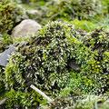 Moose: Bryum argenteum