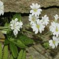Filziges Hornkraut (Cerastium tomentosum)
