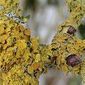Flechten: Xanthoria polycarpa