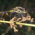 Schwarze Heidelibelle m. Sympetrum danae