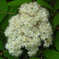 Eberesche-Blüte