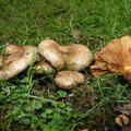 Paxillus rubicundulus Erlen-Krempling