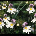 Augentrost Heilpflanze