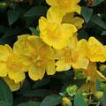 Immergrünes Johanniskraut Hypericeum  calycinum