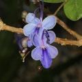 Blauer Losbaum Clerodendrum ugandense