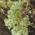 Flechten: Parmelia sulcata grau, Melanelia subaurifera grün