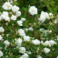 Bibernellrose Rosa altaica