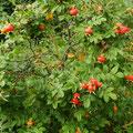 Rose-Hagebutte-Heilpflanze