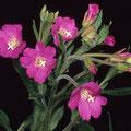 Weidenröschen-Heilpflanze
