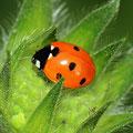 Siebenpunkt-Marienkäfer Coccinella septempunctata 2