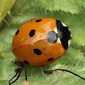 Siebenpunkt-Marienkäfer Coccinella septempunctata