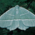 Perlglanzspanner-Campaea margaritaria