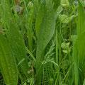 Spitzwegerich-Heilpflanze