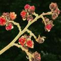 Eisenholzbaum-Blüte-Parrotia persica