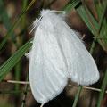 Schwan Euproctis similis