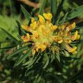Wundklee - Anthyllis vulneraria