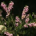 Schneeheide, Winterheide (Erica carnea)