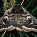 Kleines Nachtpfauenauge Eudia pavonia 2