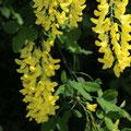 Gemeiner Goldregen Laburnum anagyroides