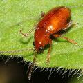 Himbeerkäfer Byturus tomentosus 2