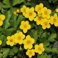 Dreiblättrige Waldsteinie (Waldsteinia ternata)