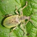 Brennessel-Grünrüssler Phyllobius pomaceus 2