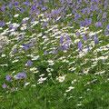 Blumenwiese Schloßpark Herten