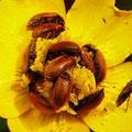 Himbeerkäfer Byturus tomentosus