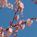 Japanische Zierkirsche Prunus serrulata
