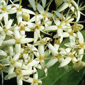 Hartriegel-Blüte