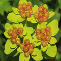 Bunt-Wolfsmilch (Euphorbia epithymoides)