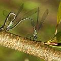 Weidenjungfer Lestes viridis