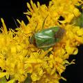 Grüne Futterwanze (Lygocoris pabulinus)