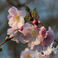 Kirsche-Scharlach-Prunus argentii