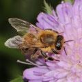 Honigbiene Apis mellifica