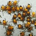 Kreuzspinnenbabys Araneus diadematus