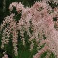 Kleinblütige Tamariske (Tamarix parviflora)